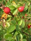 Savvaļas rožu eļļa (Rosa Rubiginosa seed