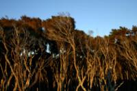Tējas koka ēteriskā eļļa(Melaleuca alternifolia) -