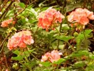 Rožu ģerānijas ēteriskā eļļa (Pelargonium Roseum)